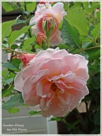 Felicia × Felicia = Felicidad - Garden Diary