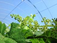 シャインの花穂整形開始 カメを助ける - 葡萄と田舎時間