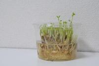 水耕栽培*豆苗 - 小皿ひとさら