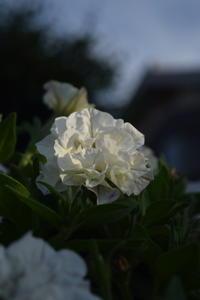 一ヶ月経って花も増えてきた栄養系ペチュニアVIVA - ヒバリのつぶやき