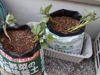 サツマイモの袋栽培もはじめました - 写真音痴の観撮日記