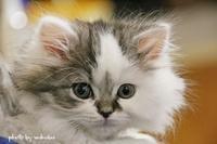 我が家にマンチカンの子猫がやってきた(^^♪ - 自然のキャンバス