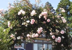 つるバラ開花 - 紅茶ライフ