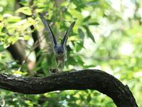 ツミの餌渡し - 『彩の国ピンボケ野鳥写真館』
