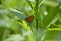 アカシジミ 6月4日 - 超蝶