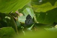 ミズイロオナガシジミ 6月4日 - 超蝶