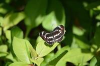ホシミスジ他 6月3日,4日に出会えた蝶 - 超蝶