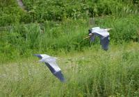 アオサギの飛翔 - 西多摩探鳥散歩