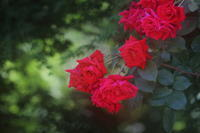 情熱の薔薇 - kzking1963 Digital Photo Diary