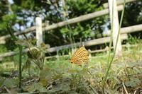 ウラゴマダラシジミ、ウラナミアカシジミ、アカシジミなど(千葉県野田市、20170604) - Butterfly & Dragonfly