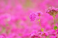 ピンクの花畑で - jumhina biyori*