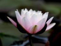 睡蓮の花が咲きました。 その2 - 自然がいっぱい3