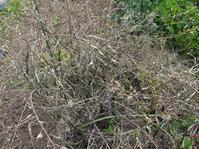 鞘が茶色になり、一部落下:鎌倉だいこん栽培記録⑮6・3 - 北鎌倉湧水ネットワーク