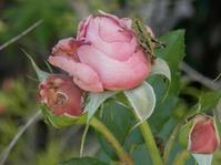 ミカドフキバッタベビー VS カマキリベビー - 虫と一緒にバラ育て バラと虫たちの世界 小さな庭で