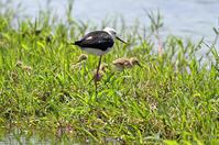 セイタカシギヒナ - ずっこけ鳥撮り日記