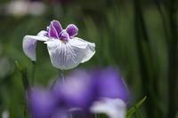 「 花菖蒲の園から 」 堀切菖蒲園前 花菖蒲 - 「せ」の写真集 刹那の光