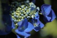 「 梅雨まちはじめ 」 ガクアジサイ - 「せ」の写真集 刹那の光