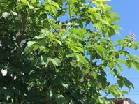 紅花栃の木(セイヨウトチノキ) - いととはり