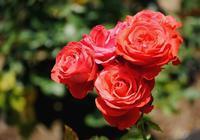 バラ・薔薇 Ⅳ - できる限り心をこめて・・Ⅲ