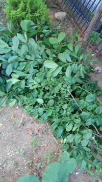 こぶし剪定 - うちの庭の備忘録 green's garden