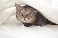 敷きパットの下で寝る猫 - きょうだい猫と仲良し暮らし
