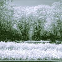 赤外線のシャワーが降り注ぐ初夏のケヤキ並木 - Film&Gasoline
