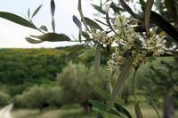 イタリア花粉症警報とオリーブの花 - ペルージャ発 なおこの絵日記 - Fotoblog da Perugia