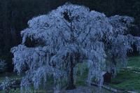 高山村 水中のしだれ桜 - photograph3