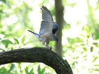 ツミの餌渡しⅡ - 『彩の国ピンボケ野鳥写真館』
