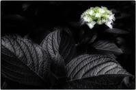 咲き始め - コバチャンのBLOG