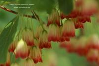 六甲高山植物園 *サラサドウダン*Ⅱ - 静かな時間