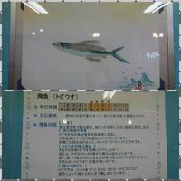 魚拓 ー第2弾ー - 埼玉県魚市場「市場あれこれ」