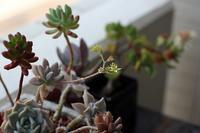 多肉、花が咲く - little good things