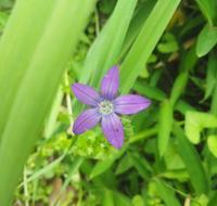 野に咲く星… - 侘助つれづれ