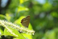■ ミドリシジミ   17.6.5 - 舞岡公園の自然2