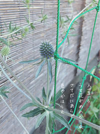 松笠あざみの葉や茎の色 - ちょこってぃ