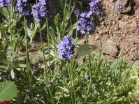 ラベンダーとモンシロチョウ - 虫と一緒にバラ育て バラと虫たちの世界 小さな庭で