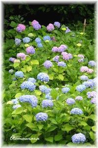 公園の紫陽花 - 日々楽しく ♪mon bonheur