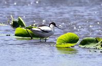 ハス田のソリハシセイタカシギ - ずっこけ鳥撮り日記