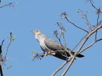 新潟のカッコウ - 気ままな野鳥観察
