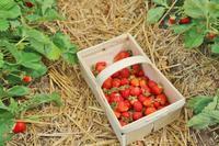 初めてのイチゴ狩り☆ - ドイツより、素敵なものに囲まれて②