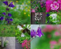 オダマキ倶楽部(オダマキ散策@雨の花園) - ainosatoブログ02