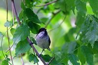 雨あがりの:コガラ - 武蔵野の野鳥