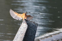 昨日 - 野鳥と自然