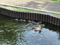 江川の子鴨。 - 携帯模写