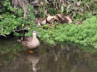 隣町の川まで - TACOSの野鳥日記