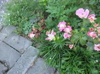 遅咲きのバラと早咲きの百合 - 日々の宝物