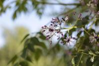 センダン -melia azedarach- - 鴉の独りごと