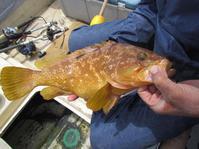 初夏が旬・キジハタ釣れました - Iターンで漁・猟師(直売有)の主人と離島暮らし