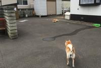 さくら、ヒート中 - 柴犬さくら、北国に生きる